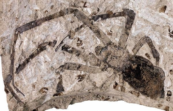 biggest spider fossil found in China